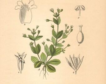 1884 Lindernia pyxidaria, Antique Lithograph