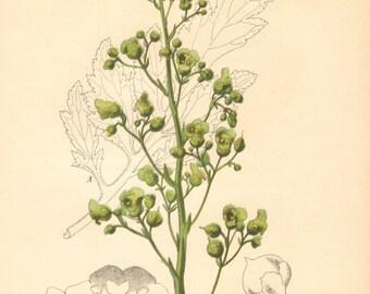 1884 Figwort, Scrophularia laciniata Antique Lithograph