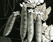 Peapods Art Print of Original Scraperboard