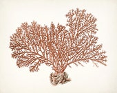 Coastal Decor Vintage Pacific Sea Coral Giclee Art Print - coral