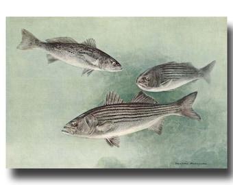 Fishing Art Striped Bass Print Antique Fishing Home Decor Striped