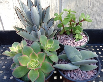 "4 Pack 4"" Succulent Collection-Large Varieties FREE SHIPPING."