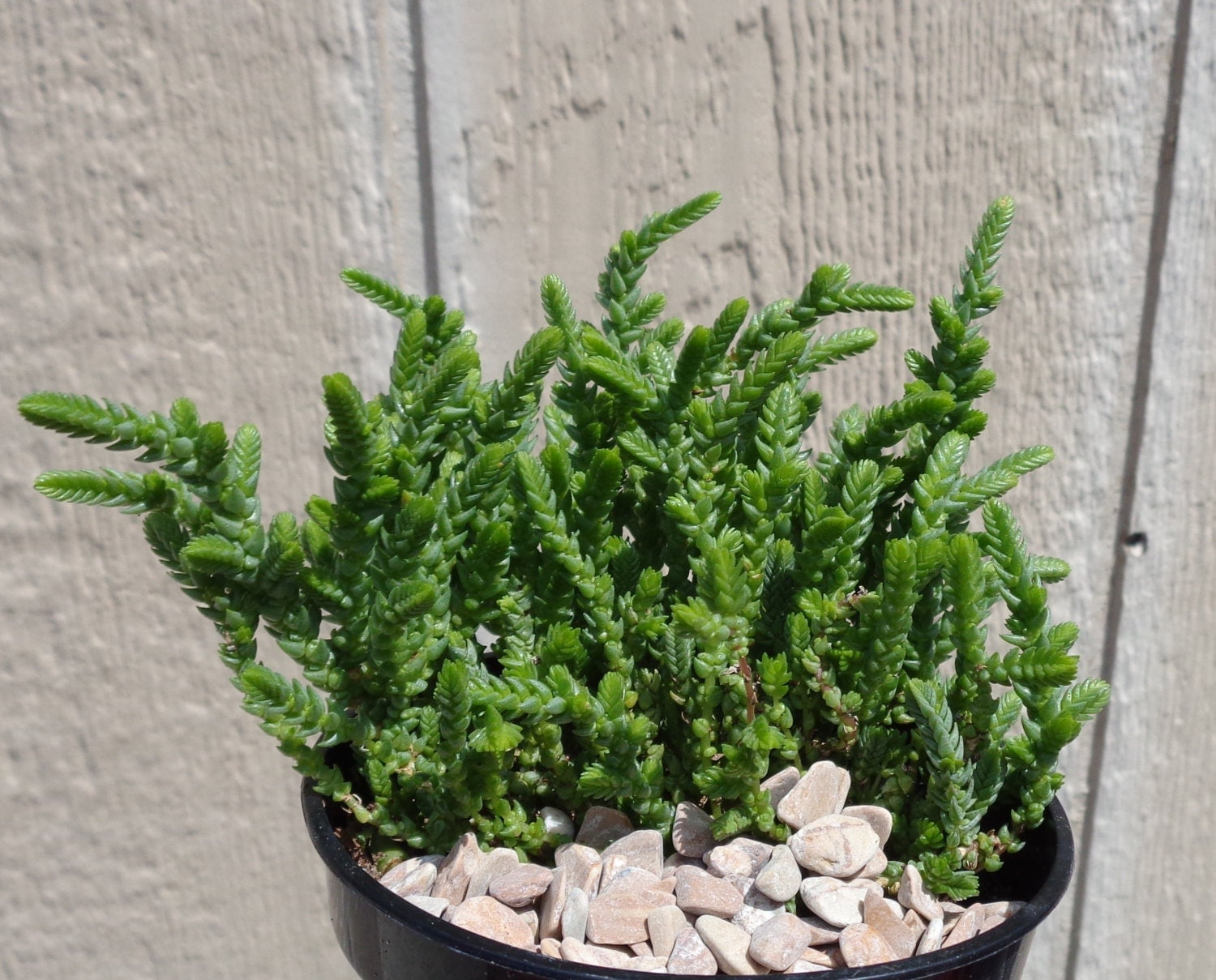 Watch chain succulent crassula muscosa by ctsairplants on etsy for Suculentas santiago