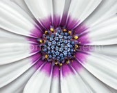 Purple and White Flower -- Square Photo Print