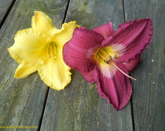 Daylily Collection, Sam Seitz, Thebes, Yellow and Purple, four live plants
