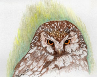 Boreal Owl Giclee print from a colored pencil drawing