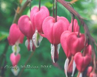 bleeding hearts,flower wall art,flowers,pink flowers,cottage garden,hearts,red,English garden,square print,fine art photography