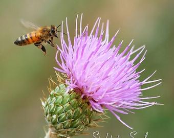 Flying Honey Bee Art, nature photography, nursery wall decor, bee & pink thistle flower photo, fine art print