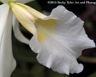 White Cattleya Orchid Fine Art Photo Print