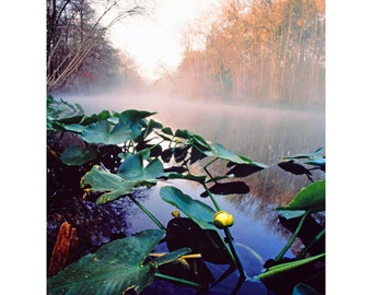 Yellow Pond Lily standing out of the misty waters of the Ocklawaha River in Florida.