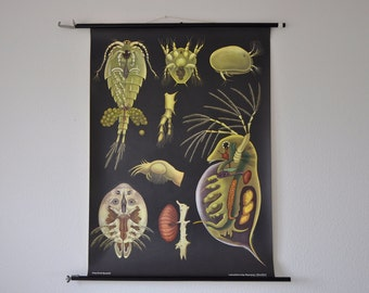 Authentic Vintage Mid Century Zoology Print. Crustaceans (Entomostraca). Pull Down Wall Map. Jung Koch Quentell. Germany.