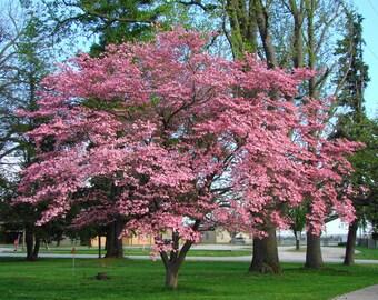50 Flowering Dogwood Tree Seeds, Cornus Florida, Rubra