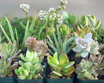 Succulent Plants 20 Live Potted Collection