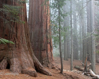See the Forest.  Sequoia National Park, California.  Nature Photography on Canvas