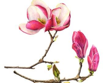 Maagnolia blossoms