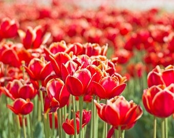 Red Tulip Gathering