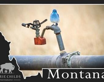 Montana Postcard- Bluebird