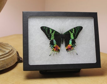 Sunset Moth RIker Mount Display