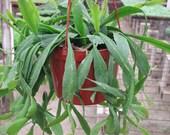 Ephiphyllum Hanging Cactus Plant