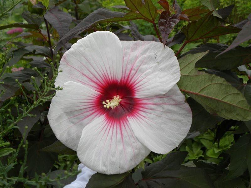 hardy hibiscus seeds kopper king winter hardy flowering. Black Bedroom Furniture Sets. Home Design Ideas