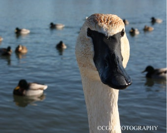 Swan, Nature Photography, Wildlife Photography, Animal photography, wall art, home decor, trumpeter swans. family,