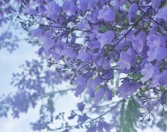 Jacaranda Tree, Purple Flowers, Spring, San Diego, California