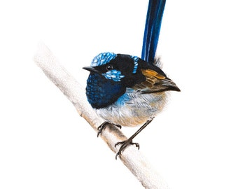 Bird Print - Bird Art - Fairywren Print