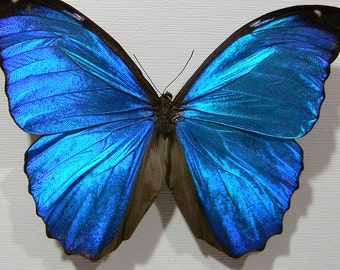 Blue Morpho Display