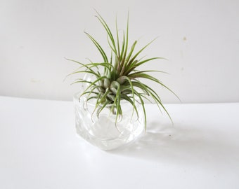 Footed Air Plant and seashell Terrarium -Air Plant with bunny -plant  in a Seashell - Mini Air Plant -Hanging Airplant  -Office Decor