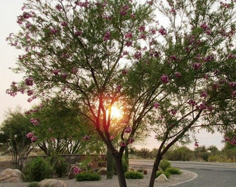 Desert Willow Tree Seeds (Chilopsis linearis) 30+Seeds