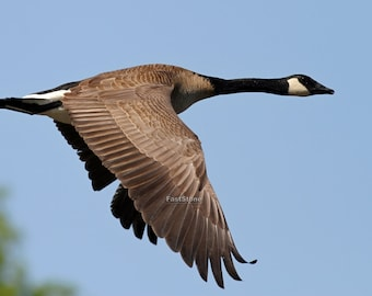 Goose, Geese, Canada, photo, photography,  print, waterfowl, flying,  bird, home decor, wall art