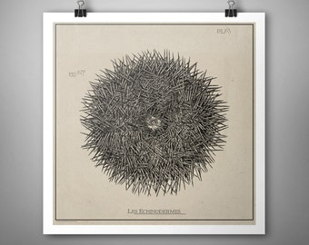 Sea Urchin, Antique Style Nautical Natural History Ocean, Typography, adaptation from antique etching, Digital Art Download Print or Poster