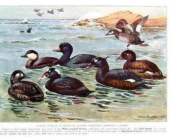 Bird Print - White Winged Scoter - 1932 Book Page from Vintage Bird Book -10 x 7