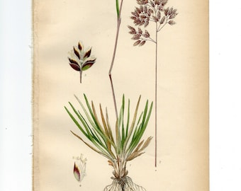 Vintage Botanical Book Plate Natural History Print Antique Botanical Illustration Poa Alpina (Alpine Meadow Grass) from 1906 Nordens Flora