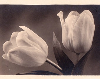 "Photo Postcard ""White Tulips, C/2256"" -- 1950?"
