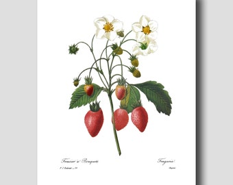 "Farmhouse Chic Wall Decor (Strawberry Print, Fruit Decor) ""Wild Strawberries Art"" --- Pierre Redoute Botanical Print No. 39"
