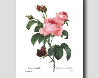 Botanical Art, French Cottage Decor (Pink Rose Wall Art, Butterfly Botanical Print) --- Pierre Redoute Rose Flower Print No. 117