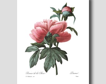 """Botanical Print """"Mountain Peony"""" French Cottage (Home Office Wall Art, Bedroom Wall Decor) --- Pierre Redoute Peony Flower Print No. 101"""