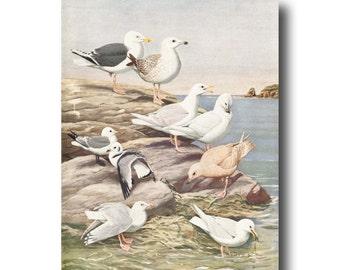 "Ocean Art, 1930s Seagull Print, Vintage Seashore Wall Decor ""Gulls & Kittiwake""  No. 5"