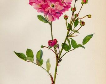Lovely Vintage Pink Rose Print Pink Botanical Flower Print Gallery Wall Art Shabby Chic Decor Cottage Decor 1343