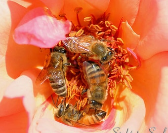 Nature Photography, honey bee art, photo of bees on rose, peach yellow home décor wall art, fine art print