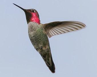 Humming Bird Photography, hummingbird art, nature photography, bird wall decor, fine art print