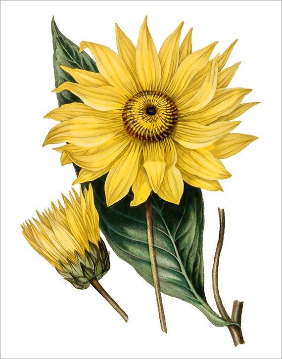 Vintage Sunflower Wall Decor : Vintage botanical wall art print yellow by ttgcreativestudio