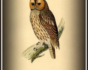 Art Print Tawny Owl Victorian 1800s - Print 8x10