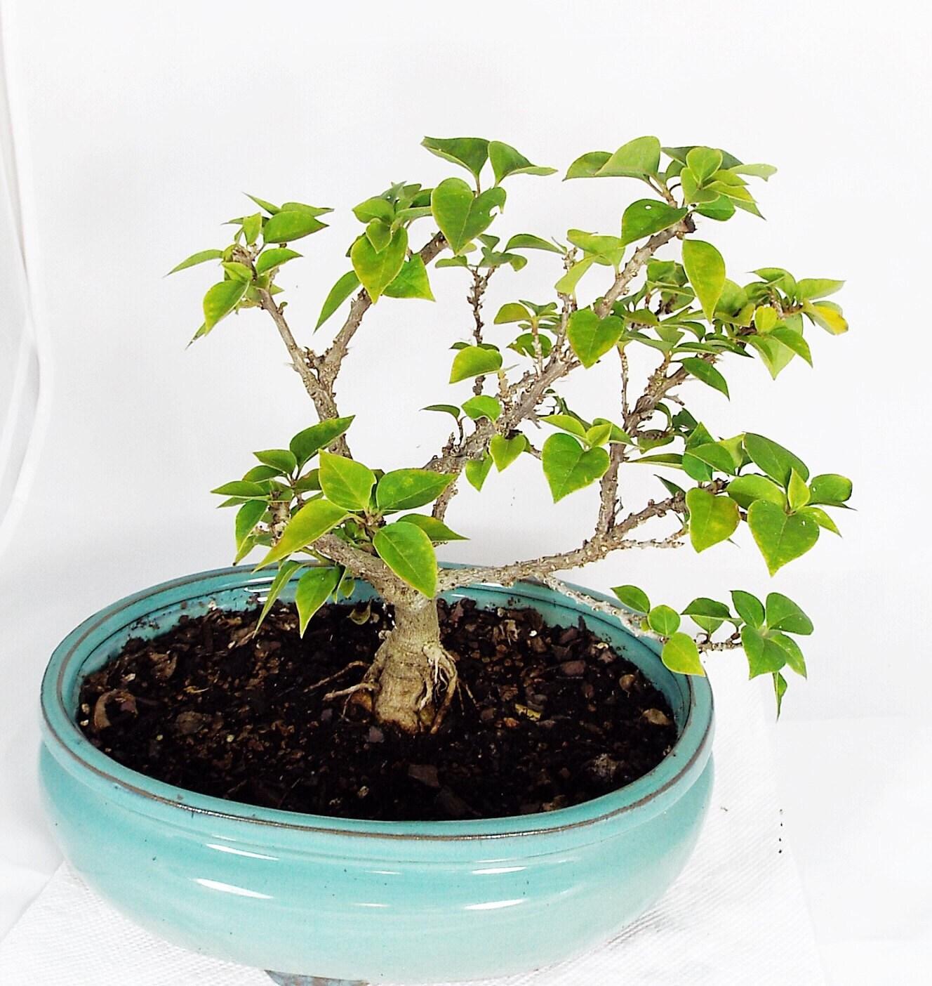 bonsai de bougainvillier en pot en argile bleu clair cette. Black Bedroom Furniture Sets. Home Design Ideas