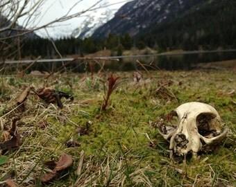 Resin Cast Domestic Cat Skull