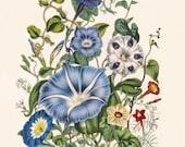 "Azure Blue Cottage Chic Decor, Victorian Art Botanical Print by Jane Loudon ""Morning Glory"" Flower Wall Art No. 5"