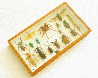 Vintage Entomology Display in Glassed Framed Case, Vintage Bioscience, Olives and Doves