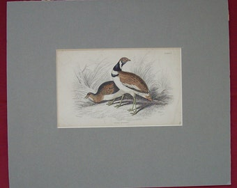 Antique Hand Coloured Engraving Little Bustard