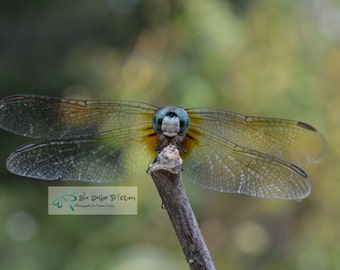 Male Blue Dasher Dragonfly Photography, Dragonfly Photo, Dragonfly Picture, Nature Photography, Nature Picture